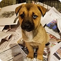 Adopt A Pet :: Sandy - Chicago, IL