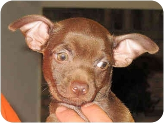 Terrier (Unknown Type, Small)/Dachshund Mix Puppy for adoption in Mahwah, New Jersey - Rocko