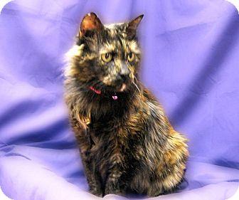 Manx Cat for adoption in Richmond, Virginia - Cleo