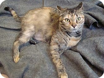 Domestic Shorthair Cat for adoption in Muncie, Indiana - Wendy