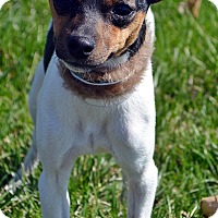 Adopt A Pet :: Piper - Bridgeton, MO