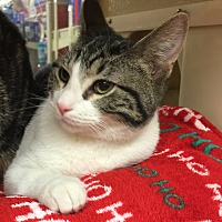 Domestic Shorthair Cat for adoption in Centerton, Arkansas - Bryce
