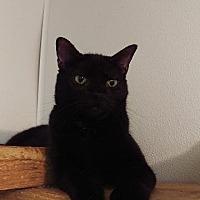 Domestic Shorthair Cat for adoption in Brainardsville, New York - Cupcake