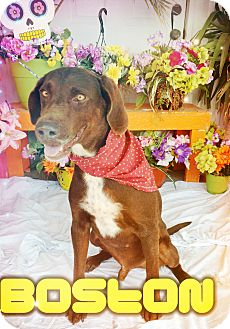 Labrador Retriever Mix Dog for adoption in Odessa, Texas - Boston