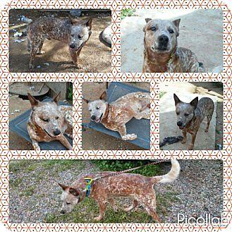 Australian Cattle Dog Dog for adoption in Phoenix, Arizona - vin