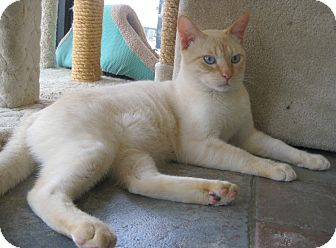 Siamese Cat for adoption in Sherman Oaks, California - Ed Sheeran