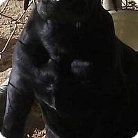 Adopt A Pet :: Jafar - Las Vegas, NV