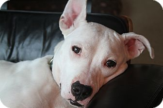 American Pit Bull Terrier Mix Dog for adoption in Muskegon, Michigan - Nahla