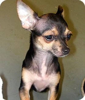 Chihuahua Dog for adoption in Westport, Connecticut - *Maximillian - PENDING