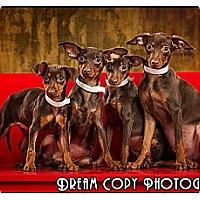 Adopt A Pet :: Min Pin Puppies - Owensboro, KY