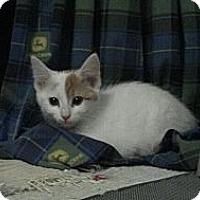 Adopt A Pet :: Milk Dud - Sterling Hgts, MI
