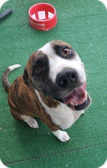 Staffordshire Bull Terrier Mix Dog for adoption in Savannah, Georgia - Nala 3