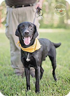 Labrador Retriever Mix Dog for adoption in Houston, Texas - Moshe