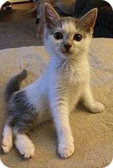 Domestic Mediumhair Kitten for adoption in Plainville, Connecticut - Dixie