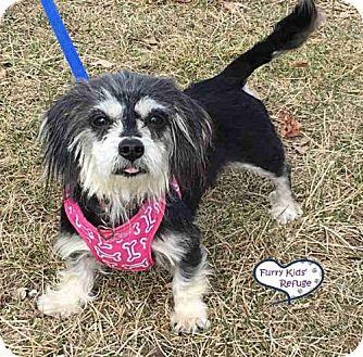 Dachshund Mix Dog for adoption in Lee's Summit, Missouri - Pixie