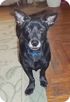 Dachshund/Shepherd (Unknown Type) Mix Dog for adoption in Allentown, Pennsylvania - Nomie reduced to 300$