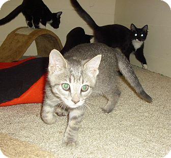Domestic Shorthair Kitten for adoption in Fairborn, Ohio - Waverly