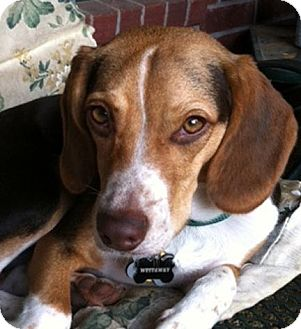 Beagle Mix Puppy for adoption in Houston, Texas - Duncan