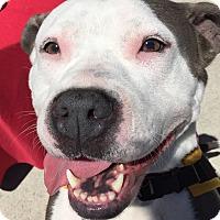 Adopt A Pet :: Wiggles - Rockaway, NJ