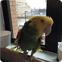 Adopt A Pet :: Teal - St. Louis, MO