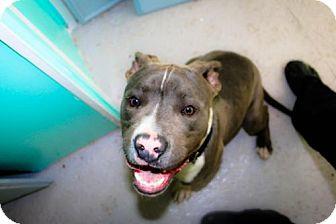 Pit Bull Terrier Dog for adoption in Eugene, Oregon - Wyatt