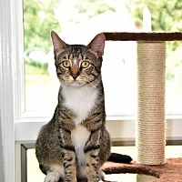 Domestic Mediumhair Cat for adoption in Rockaway, New Jersey - Mickey