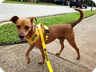 Miniature Pinscher Mix Dog for adoption in Russellville, Kentucky - Casey