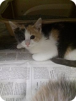 Domestic Shorthair Kitten for adoption in Northfield, Ohio - Dana