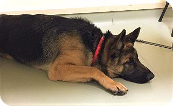 German Shepherd Dog Mix Dog for adoption in Woodinville, Washington - Vigor