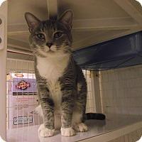 Domestic Shorthair Cat for adoption in Chambersburg, Pennsylvania - Leo