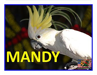 Cockatoo for adoption in Vancouver, Washington - Mandy The Lesser Sulfur Creste