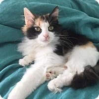 Adopt A Pet :: .Pixie - Ellicott City, MD