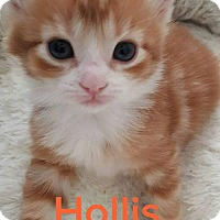 Adopt A Pet :: Hollis - Tega Cay, SC
