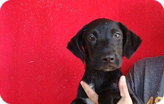 Labrador Retriever/Golden Retriever Mix Puppy for adoption in Oviedo, Florida - Sasha