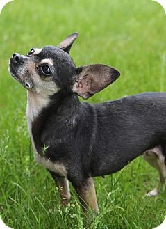Chihuahua Mix Dog for adoption in Minneapolis, Minnesota - Luna