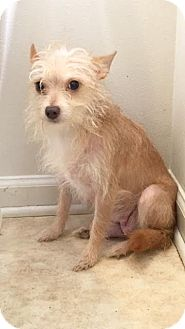 Poodle (Miniature)/Chihuahua Mix Dog for adoption in Baton Rouge, Louisiana - Goldie
