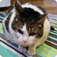 Adopt A Pet :: Kitty Mitty - Medford, MA