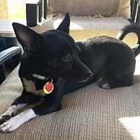Adopt A Pet :: Opie - Gilbert, AZ