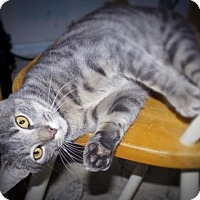 Domestic Shorthair Cat for adoption in Philadelphia, Pennsylvania - Joker