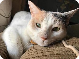Calico Cat for adoption in Livonia, Michigan - Carol - Ya Litter (Mom)