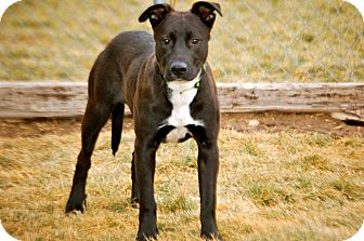Border Collie/Labrador Retriever Mix Puppy for adoption in Meridian, Idaho - Kodiak