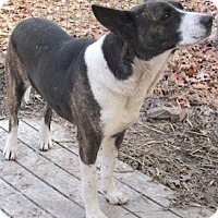 Australian Cattle Dog/Catahoula Leopard Dog Mix Dog for adoption in Tahlequah, Oklahoma - Dolly