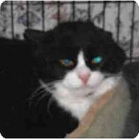 Adopt A Pet :: Boo Boo Kitty - Colmar, PA
