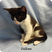 Adopt A Pet :: Julius Caesar - Bentonville, AR