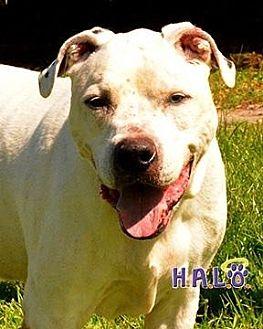 American Bulldog Dog for adoption in Sebastian, Florida - Kaden