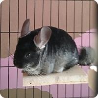 Adopt A Pet :: Felix - Granby, CT