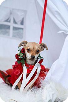 Dachshund/Chihuahua Mix Dog for adoption in Auburn, California - Trixie