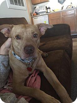 Labrador Retriever Mix Dog for adoption in Allentown, New Jersey - Sebastian
