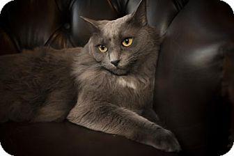 Russian Blue Cat for adoption in Savannah, Georgia - Vaughn