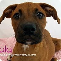 Adopt A Pet :: Zulu - Toledo, OH